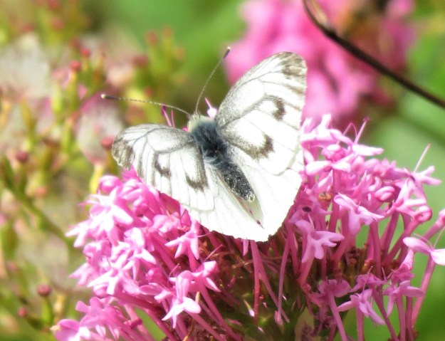 A white butterfly with some black markings nectaring on a pink flower