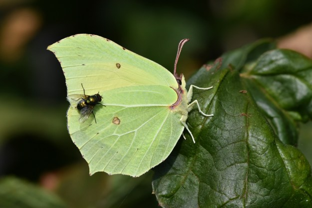 A greenish yellow butterfly with some brown markings plus a fly resting in the butterfly's wing