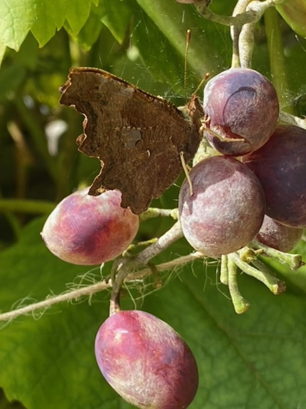 View of a brown butterfly resting on purple coloured plums