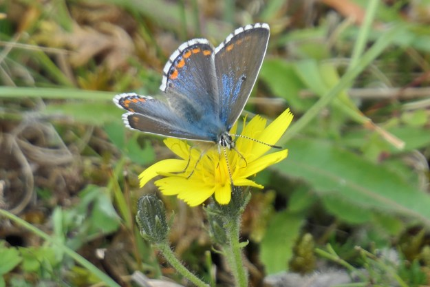 A blue butterfly with orange, black and white markings nectaring on a yellow flower