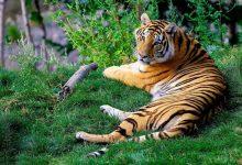 Photo of V Indiji se je število prostoživečih tigrov povečalo za tretjino