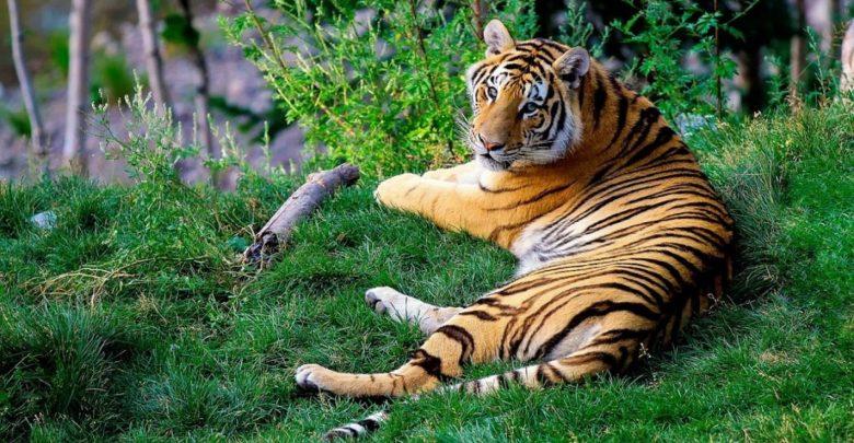 prostoživečih tigrov, indija, tigrov, tiger