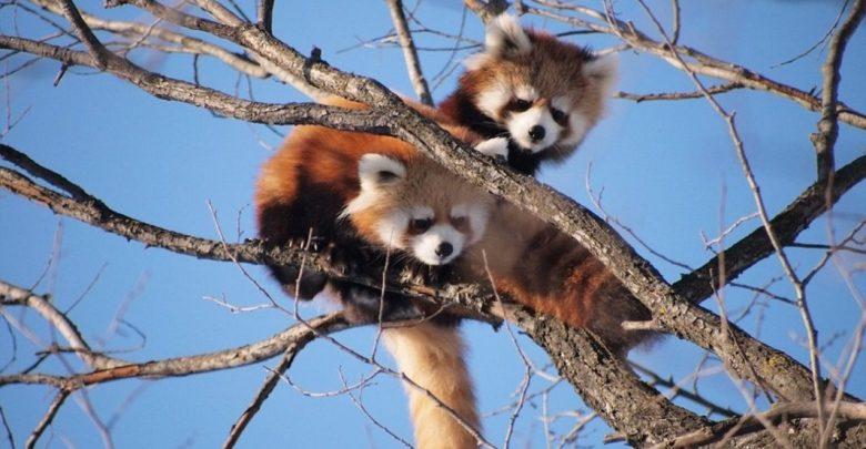Mačji panda, mačje pande,