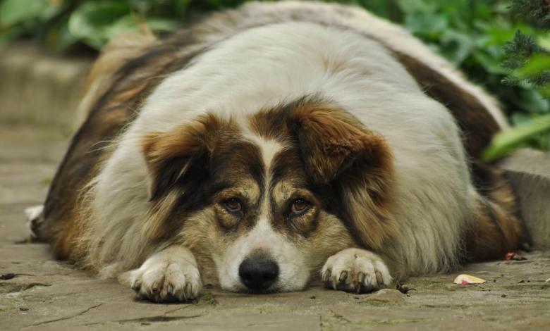 debelost, raziskava, ljudje, pes, Študija, psi, Prekomerna telesna teža