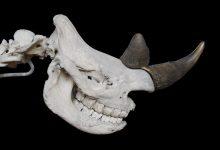 Photo of Med delom za traso drugega tira odkrili 120.000 let stare kosti nosoroga