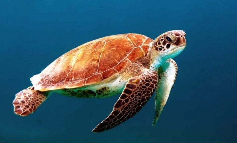 Ogrožena več kot polovica, želve, ogroženost, živali,