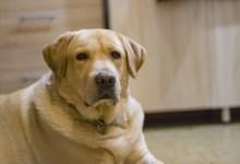 Photo of Znanstveniki nasprotujejo uveljavljeni primerjavi starosti psa in človeka