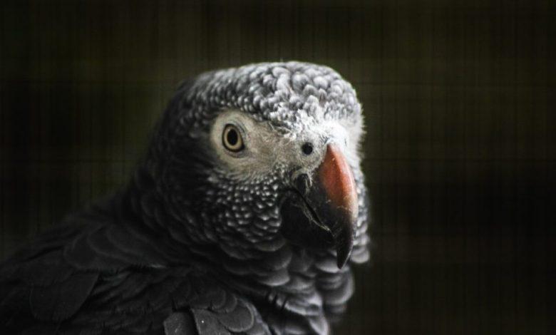 papige, Afriške sive papige, Afriška siva papiga, kletvice, papig, ptice,