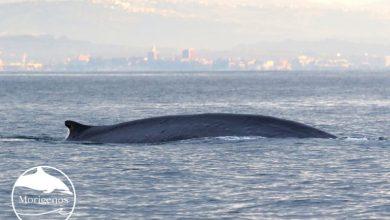 Photo of Tržaški zaliv obiskala morska velikana vrste brazdasti kit