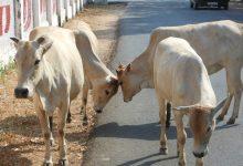 """Photo of Indijci se bodo preizkusili v testu iz """"kravjih znanosti"""""""