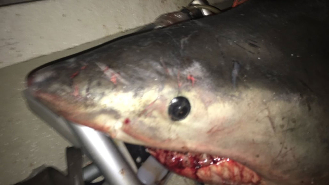 great white shark jumps into boat 100241857-159532