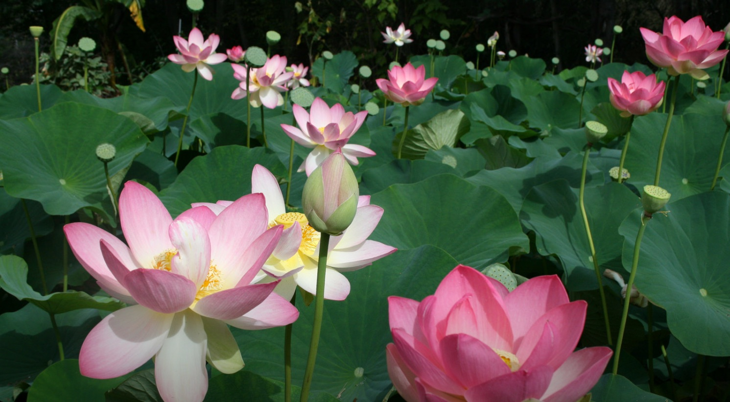 What Does The Lotus Flower Stand For Flower Images 2018 Flower
