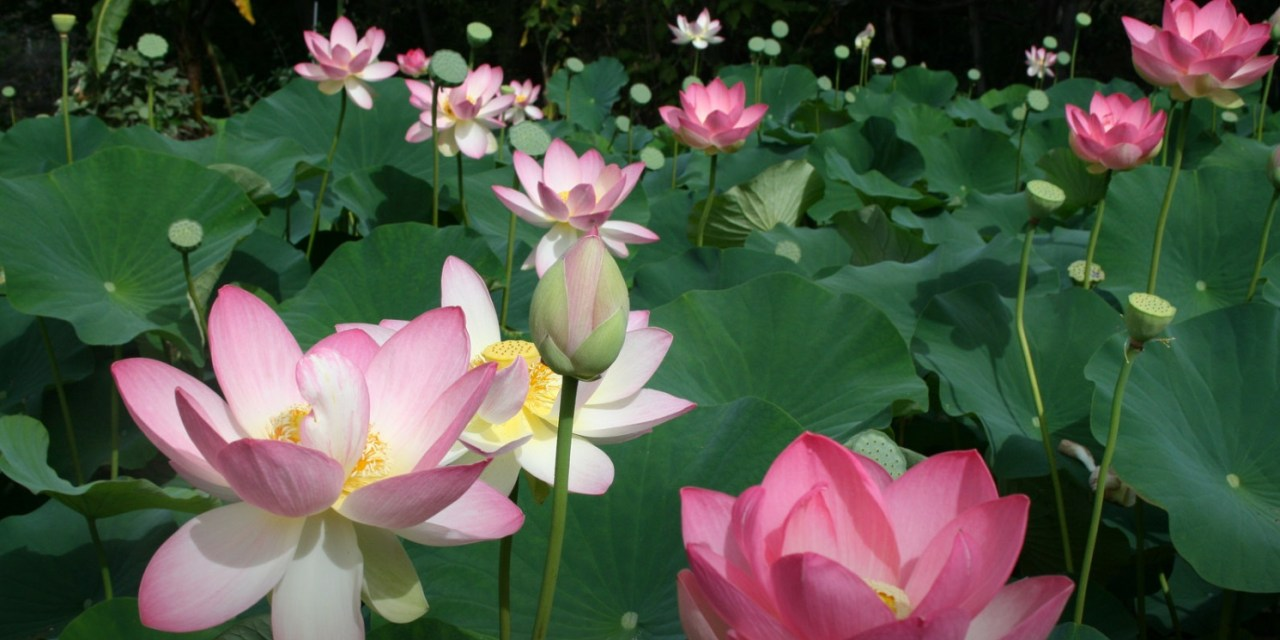 The blue lotus flower gallery flower decoration ideas lotus flower season mightylinksfo izmirmasajfo