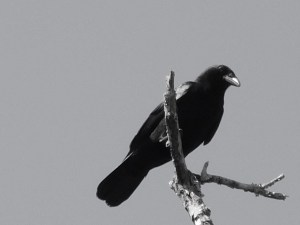 black and white picture of crow perched on a tree branch