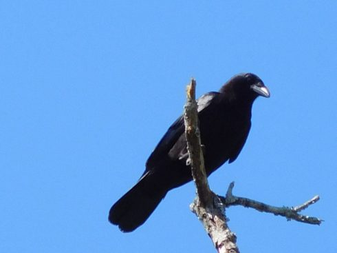 A photo of an American crow. Perched on the top of a tree. Blue sky is behind it.
