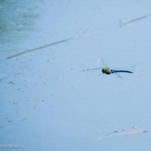 Migrant Hawker dragonfly patrols at a lake near Ashford, Kent.