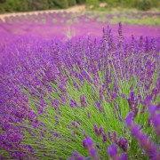 Lavender field, near Lac St Croix, provence, France. digital-photography-tuition