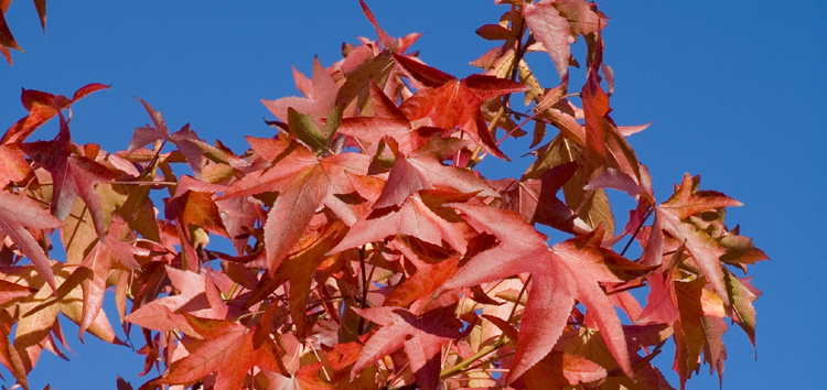Liquidambar Foliage against pure blue sky
