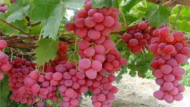 المساحة المزروعة بسلسلة فاكهة العنب بمنطقة دكالة (إقليمي الجديدة وسيدي بنور)