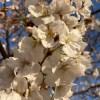 今年の桜も今週末から来週あたりが見頃ですねー