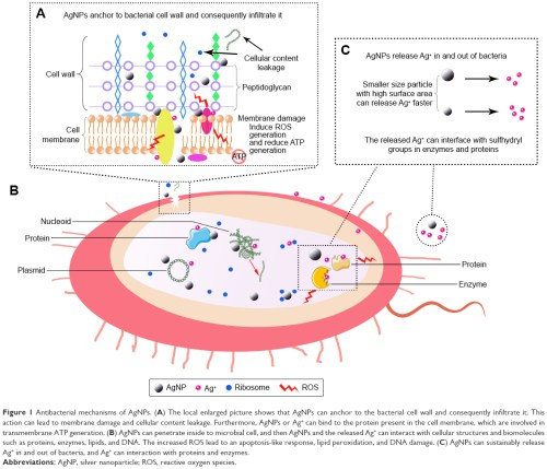 small resolution of figure 1 antibacterial mechanisms of agnps a the local enlarged picture shows that agnps can anchor to the bacterial cell wall and consequently
