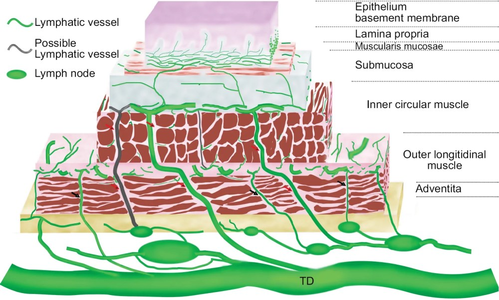 medium resolution of figure 1 schematic lymphatic drainage of the esophagus