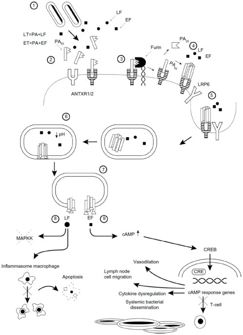small resolution of figure 1 pathophysiology of anthrax illustrated as a series of steps 1 bacillus anthracis spores germinate and release lethal factor and pa
