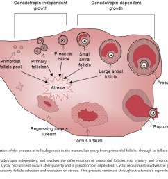 figure 1 a schematic representation of the process of folliculogenesis in the mammalian ovary from primordial follicles through to follicle ovulation and  [ 1128 x 734 Pixel ]