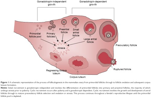 small resolution of figure 1 a schematic representation of the process of folliculogenesis in the mammalian ovary from primordial follicles through to follicle ovulation and