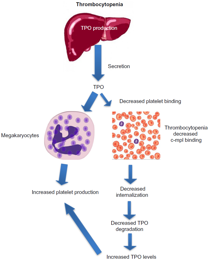 medium resolution of note in states of thrombocytopenia in the absence of chronic liver disease there is decreased tpo binding and degradation by