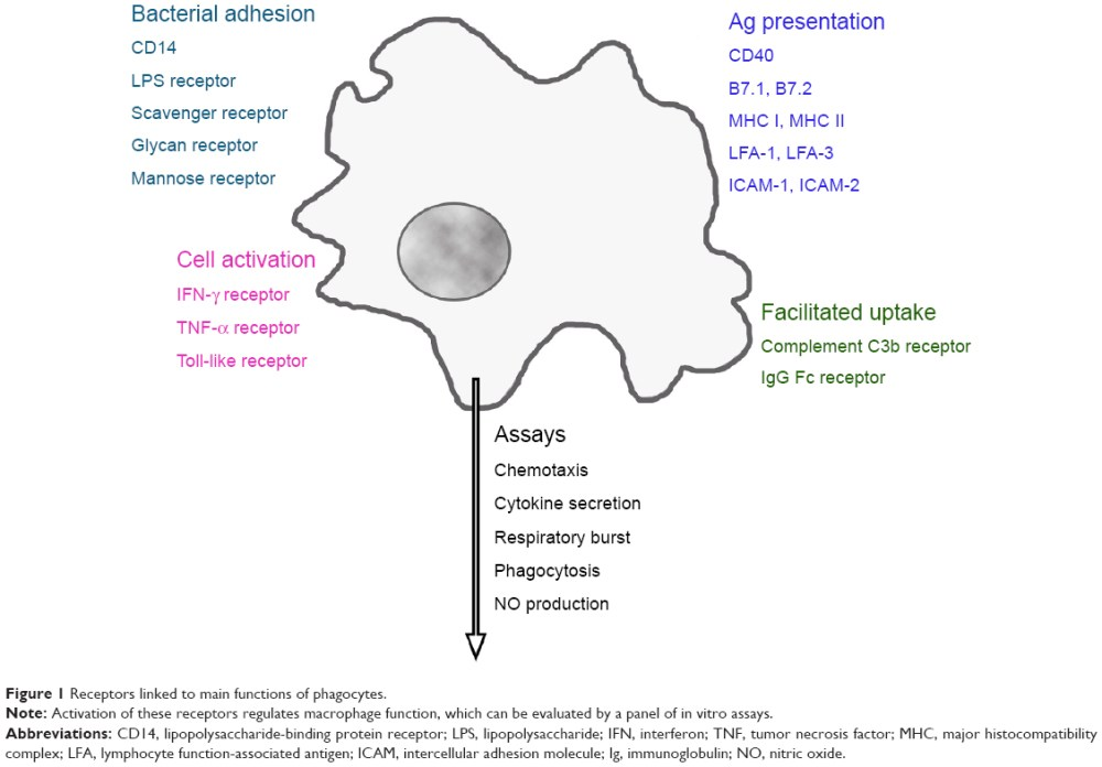 medium resolution of figure 1 receptors linked to main functions of phagocytes note activation of these receptors regulates macrophage function which can be evaluated by a