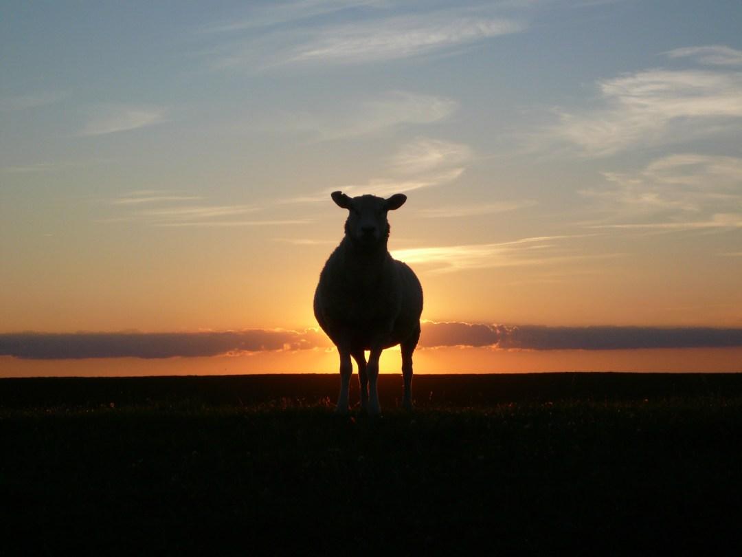 la vie de mouton noir