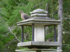 Morning dove wondering where the eats are.