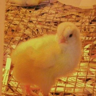 Cornish Rock Chick