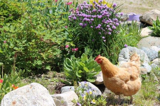 Chicken Little in the Garden