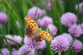 Orange Butterfly in the Chives