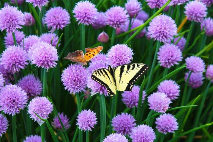 A Duo of Butterflies