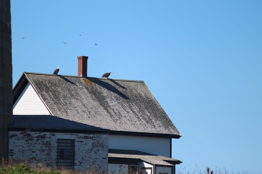 bald eagles on the roof at Petit Manan Light