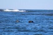 gray seals at Petit Manan Island