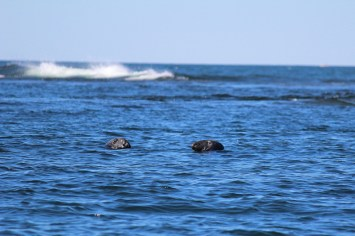 gray seals at Petit Manan Island