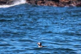 a lingering atlantic puffin