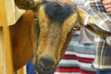 goat demonstration
