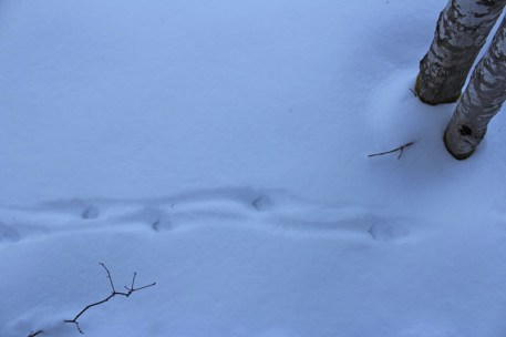 More fox tracks.