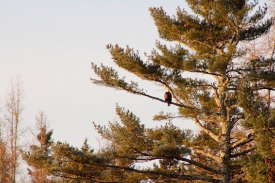bald eagle watching the sun rise