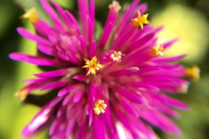 This flower reminds me of a firework going off