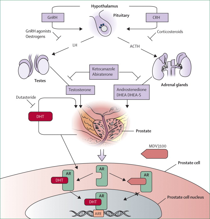 Anti-androgens and androgen-depleting therapies in ...