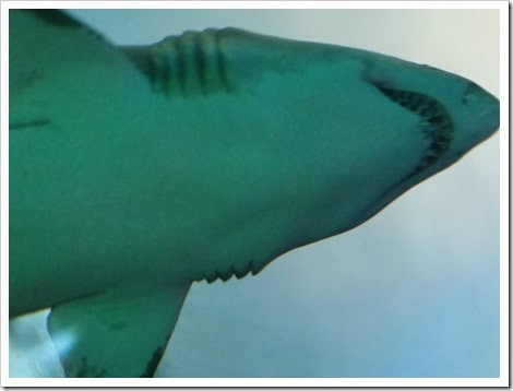 Ripley's Aquarium Canada Wordless Wednesday from @DownshiftingPRO  Sharks