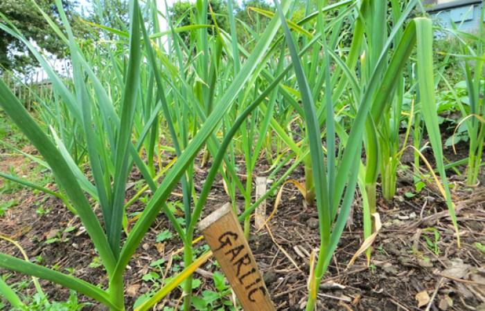 Garlic plants at Selsley Community Growing Scheme