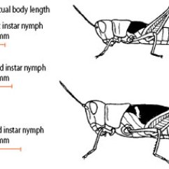 Grasshopper Insect Diagram Context Level Visio Australian Plague Locust Landholder Control Strategies For Nsw Nymph Stages