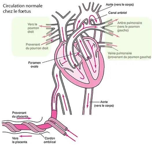 Circulation foetale 3